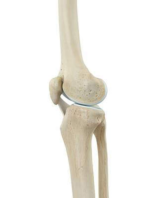 Human Knee Joint Poster by Sciepro