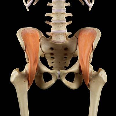 Human Muscles Pelvis Poster
