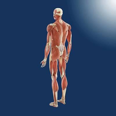Human Musculature Poster by Springer Medizin