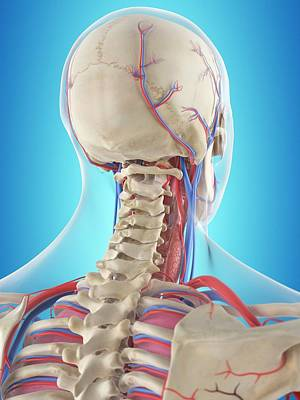 Human Neck Anatomy Poster