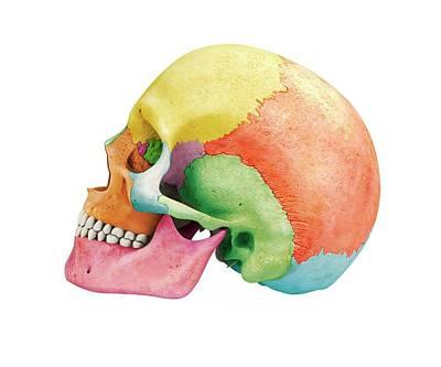 Human Skull Poster