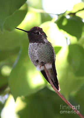 Hummingbird Hangout Poster by Carol Groenen