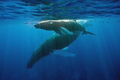 Humpback Whale And Calf Poster