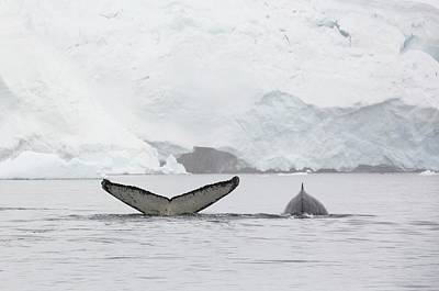 Humpback Whales Feeding On Krill Poster