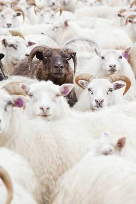 Icelandic Sheep Poster