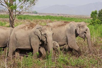 Indian Asian Elephant, Herd Poster