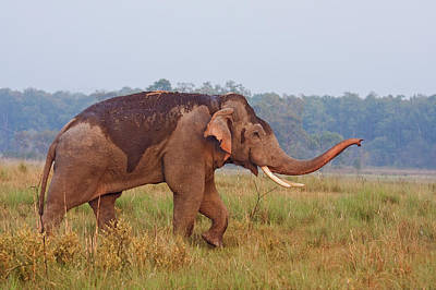 Indian Asian Elephant, Tusker Poster by Jagdeep Rajput