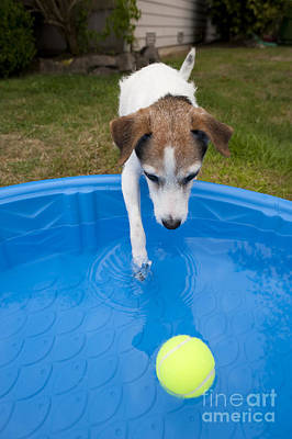 Jack Russell Terrier Pool Ball Poster by Jim Corwin