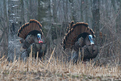 Jake Eastern Wild Turkeys Poster