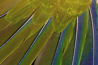 Jenday Conure Poster