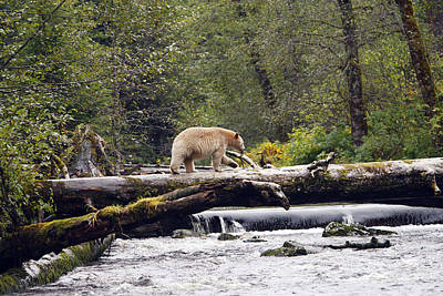 Kermode Or Spirit Bear Poster