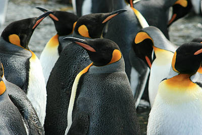 King Penguin Colony Poster by Amanda Stadther