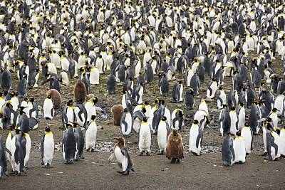King Penguins On Salisbury Plain Poster