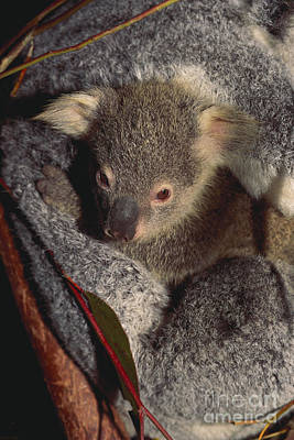 Koala Mother And Baby Poster
