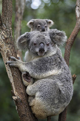 Koala Mother And Joey Australia Poster