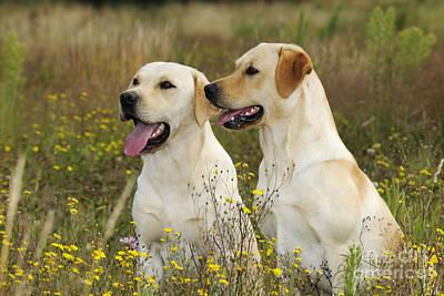 Labrador Retriever Dogs Poster by John Daniels