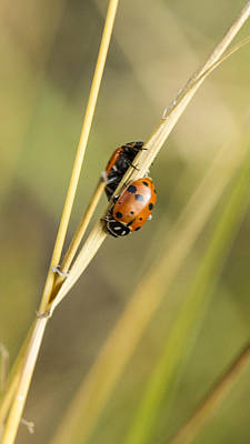 2 Ladybugs Crawling Poster by Jean Noren