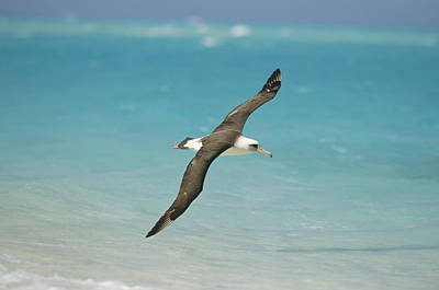 Laysan Albatross Flying Midway Atoll Poster by Tui De Roy