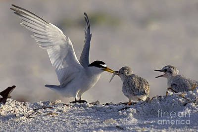 Least Tern Feeding It's Young Poster by Meg Rousher