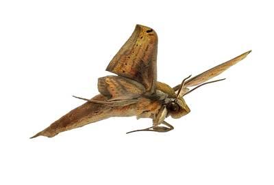 Libya Sphinx Moth Poster by F. Martinez Clavel