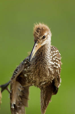 Limpkin Chick, Aramus Guarana, Viera Poster by Maresa Pryor