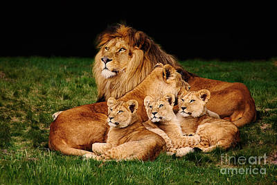 Lion Family Lying In The Grass Poster by Nick  Biemans