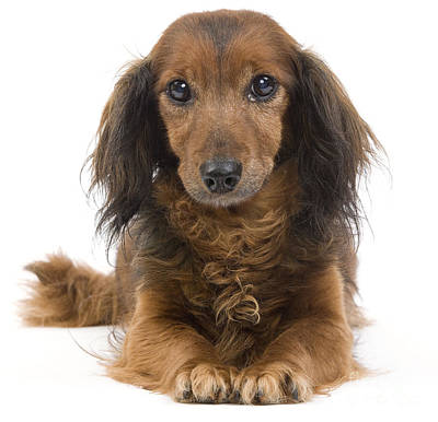 Long-haired Dachshund Poster by Jean-Michel Labat