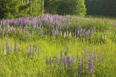 Maine Wild Lupine Flowers Poster