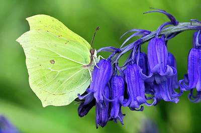 Male Brimstone Butterfly Poster by Colin Varndell