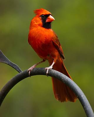 Male Cardinal Poster by Robert L Jackson