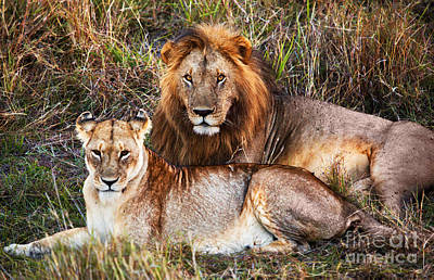 Male Lion And Female Lion. Safari In Serengeti. Tanzania. Africa Poster by Michal Bednarek