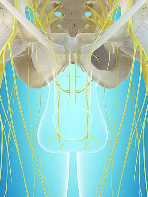 Male Nervous System Poster by Sciepro