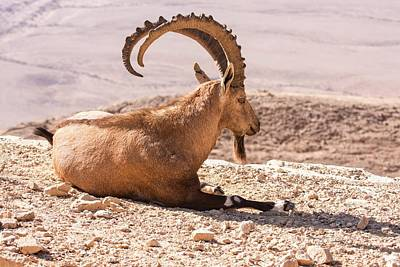Male Nubian Ibex Poster