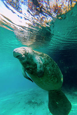 Manatee Swimming In Clear Water Poster