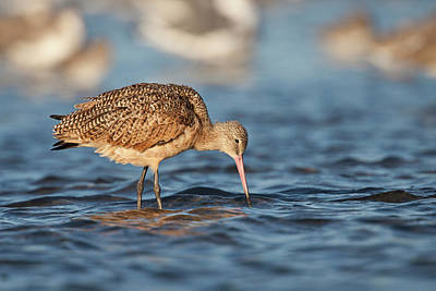 Marbled Godwit (limosa Fedoa Poster by Larry Ditto