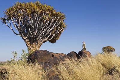 Meerkat In Quiver Tree Grassland Poster