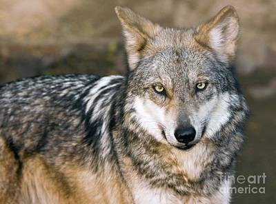 Mexican Gray Wolf Poster by Bob Gibbons