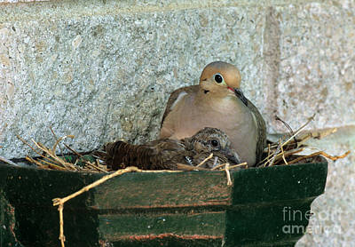 Mourning Dove In Nest Poster by William H. Mullins