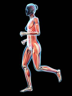 Muscular System Of Runner Poster by Sebastian Kaulitzki
