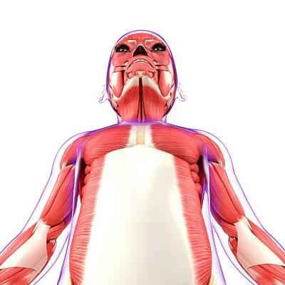 Muscular System Poster by Pixologicstudio