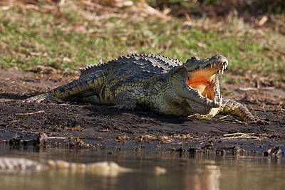 Nile Crocodile (crocodylus Niloticus Poster by Martin Zwick