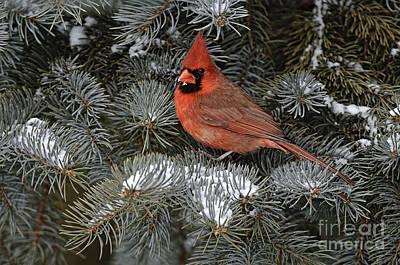 Northern Cardinal Poster by Michael Cummings
