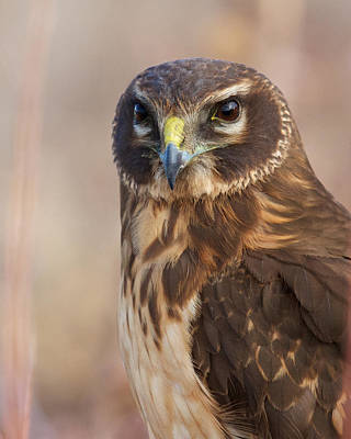 Northern Harrier Female Poster