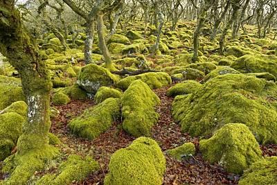 Oak Woodland On Dartmoor Poster