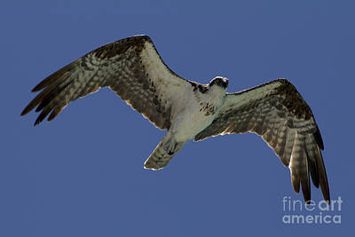 Poster featuring the photograph Osprey In Flight Photo by Meg Rousher