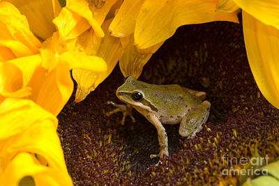 Pacific Treefrog On Sunflower Poster