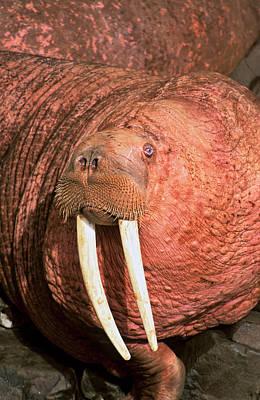 Pacific Walrus (odobenus Rosmarus Poster