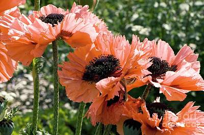 Papaver Orientale Pink Ruffles Poster by Adrian Thomas