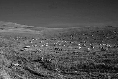 Sheep Grazing In The Countryside Tarquinian Poster