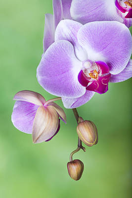 Phalaenopsis Orchids  Poster